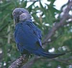 Spix_macaw_1