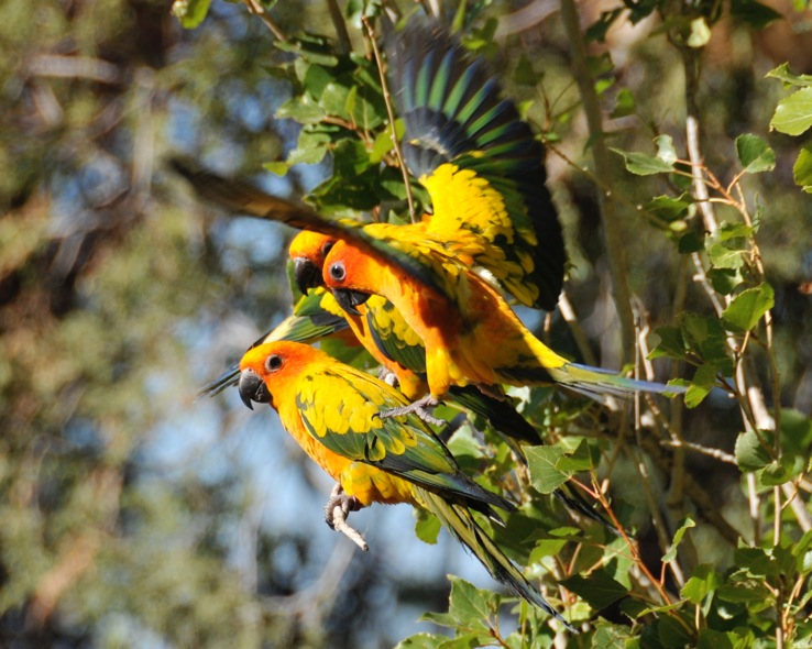 Sun Conure project in Guyana