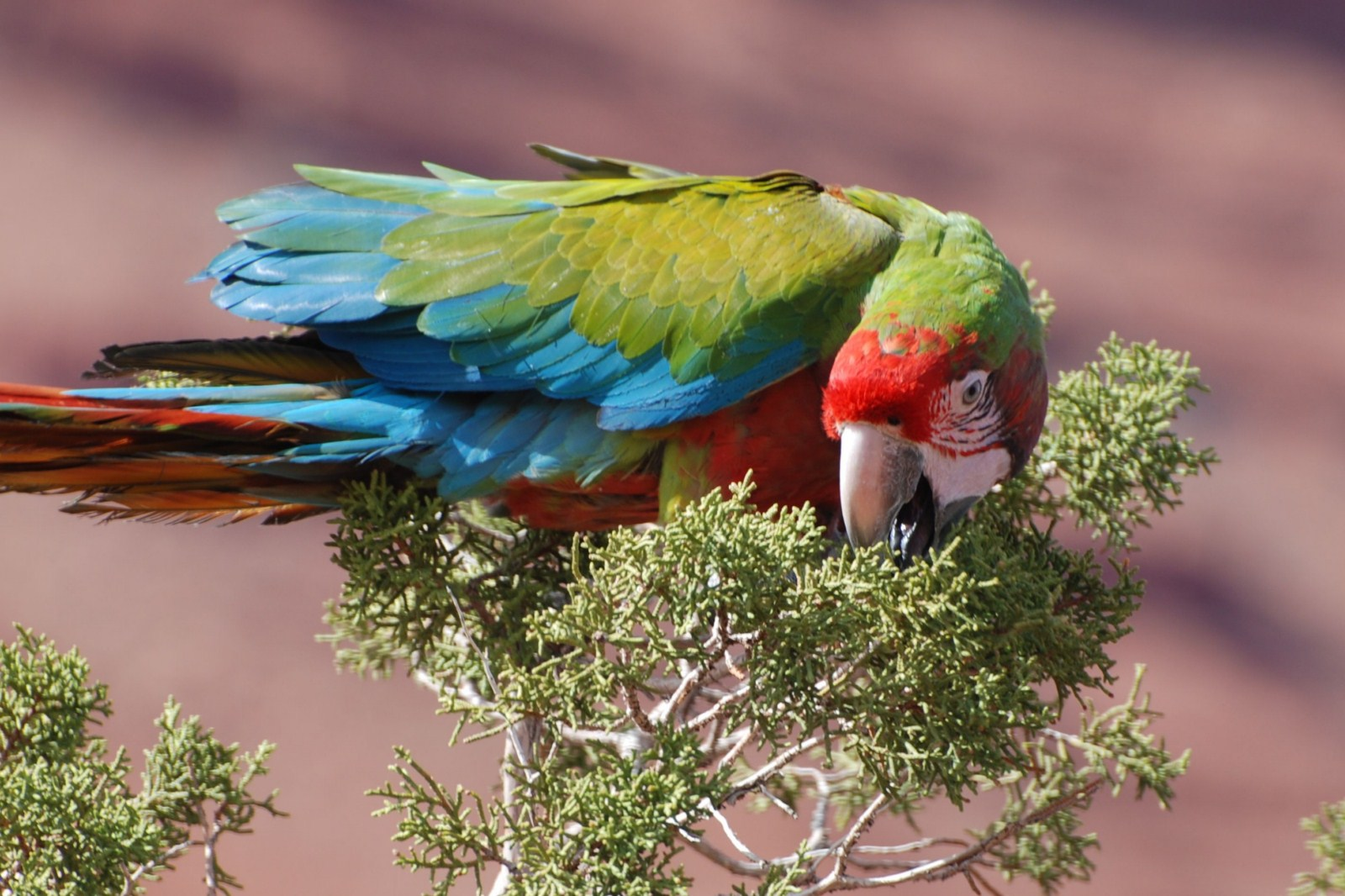 Thick-billed parrot project in Arizona